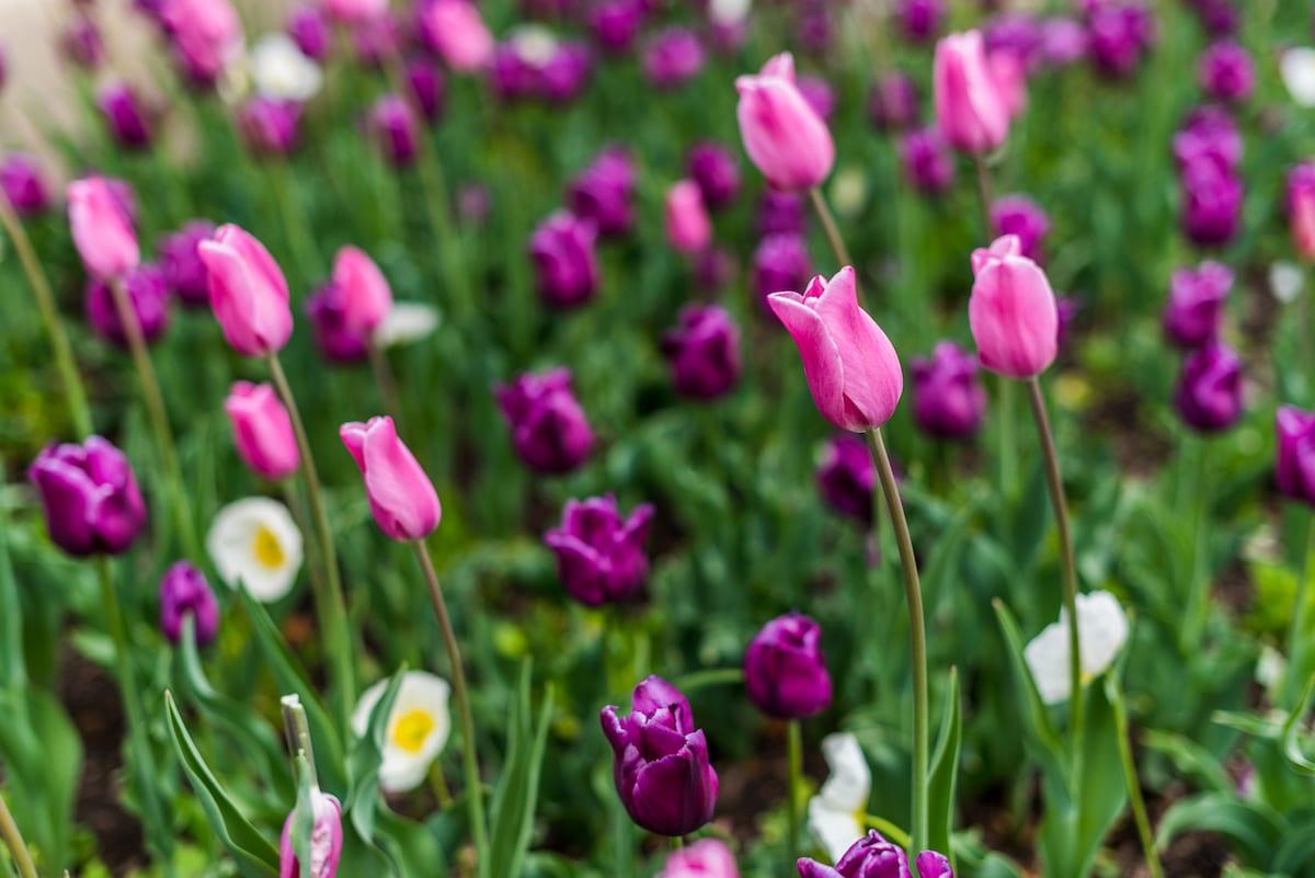 Tulips at the Denver Botanic Gardens