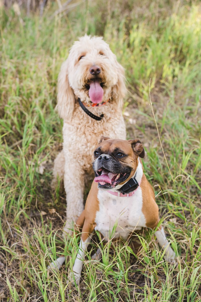 Boxer and Labradoodle pet portrait | Pets In Human Photo Session
